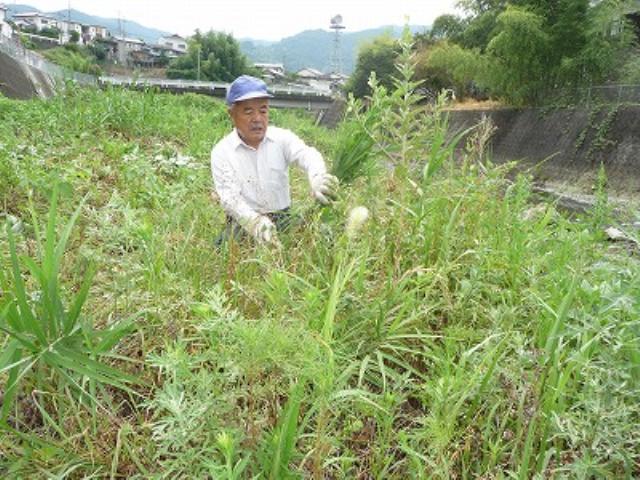 炎天下、橋本川の川原で草刈り奉仕をする小西さん