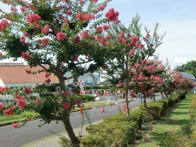 プール前のサルスベリ並木