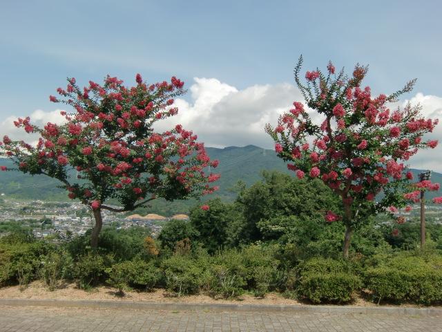 三石山を背景に美しく咲いたサルスベリ