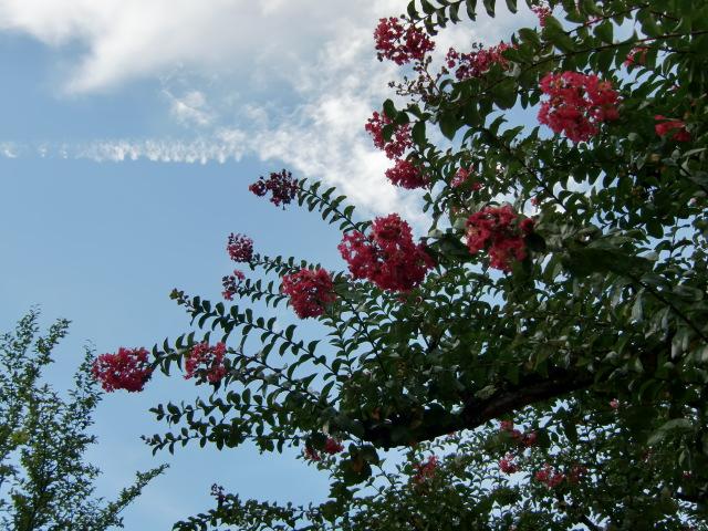 老衰を克服して樹勢をとり戻しピンクの花を咲かせている普賢院のサルスベリ