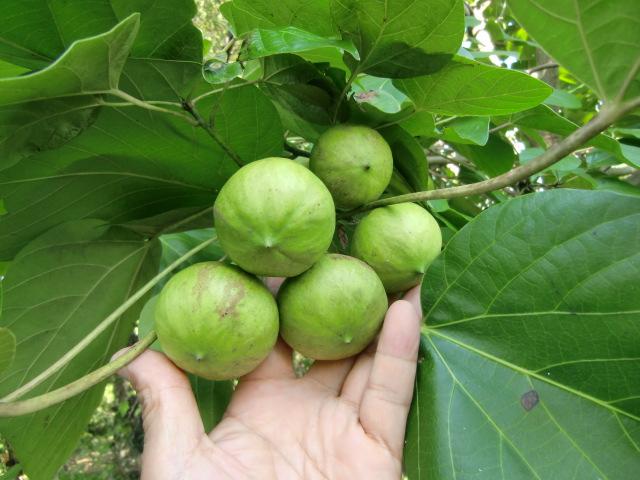 自ら育てた〝ふるさと学びの森〟で「たらようの木」を説明する田中治さん