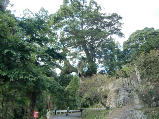 信太神社の境内北西に立つ大樟