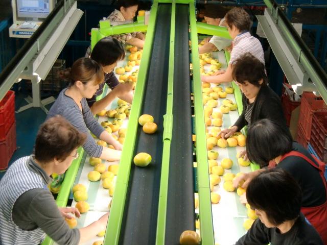 次々と流れてくる刀根早生柿を選別する女性たち