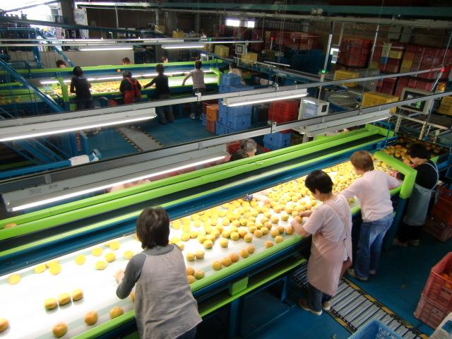 ベルトコンベアーの刀根早生柿を選別する女性たち