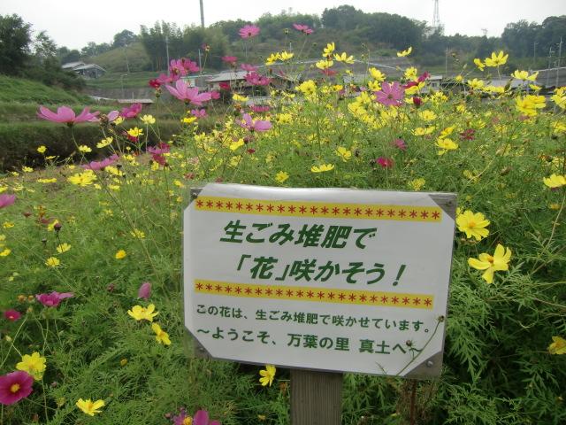 生ゴミ堆肥でコスモスを咲かせたことをアピールする看板