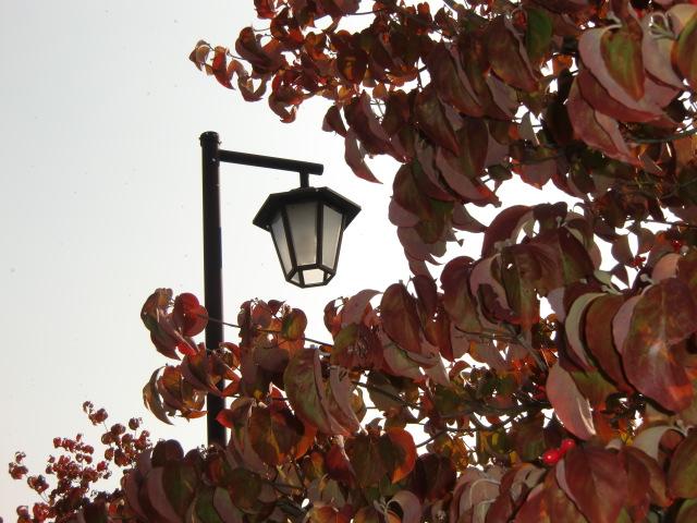 橋本川沿いで紅葉したハナミズキ