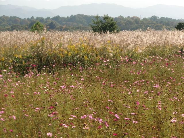 バス停・初芝橋本高校前の畑で満開の色とりどりのコスモス