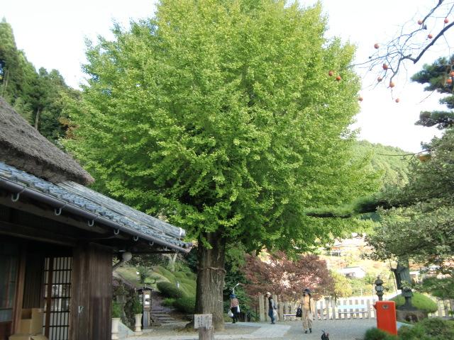 初冬とはいえ緑の葉に覆われた堀越癪観音の銀杏老樹