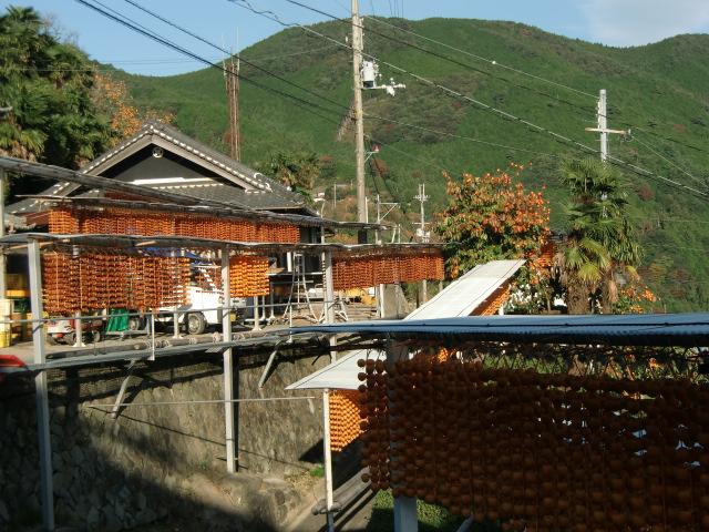 四郷地区で天日干しされている串柿の玉すだれ