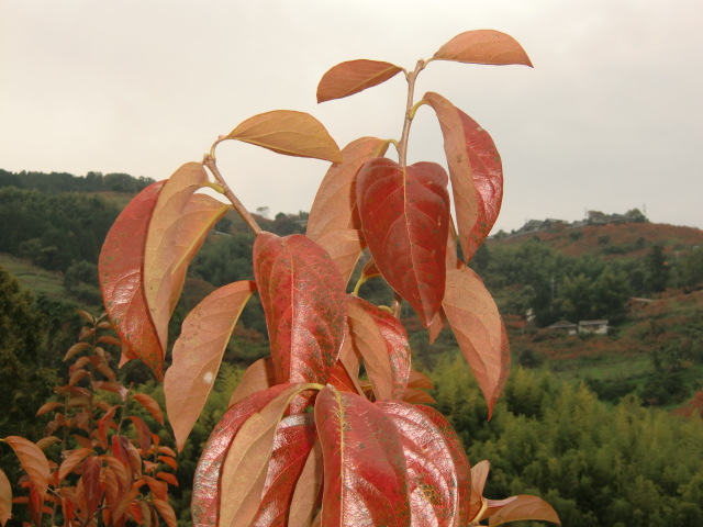 初冬の風物詩、国城山の坂道沿いに見られる柿紅葉