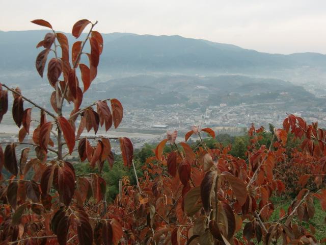 国城山の坂道沿いには柿紅葉の柿畑が広がる