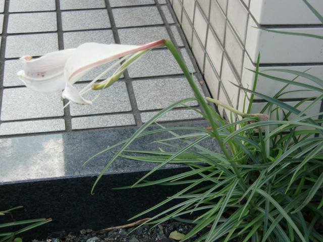 橋本商工会館わきに果敢に咲いた〝ど根性ユリ〟