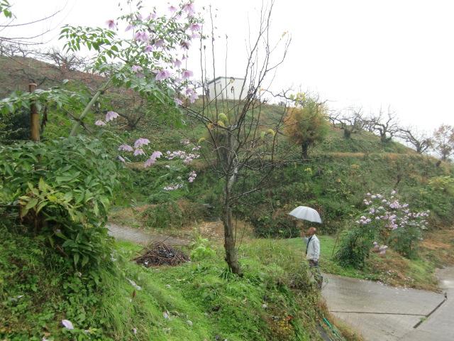 国城山系の坂道を明るくした皇帝ダリア