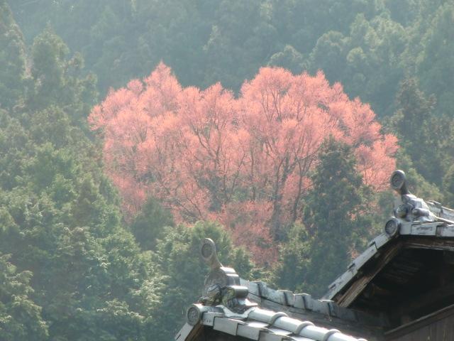 玉川峡に桂の新芽美しく…7変化の天然記念物