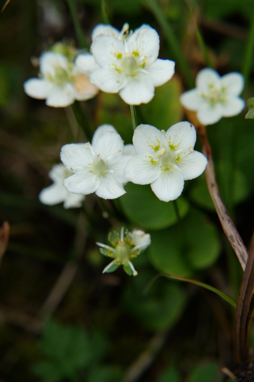 高野の花たち」(55)梅鉢紋似のウ...