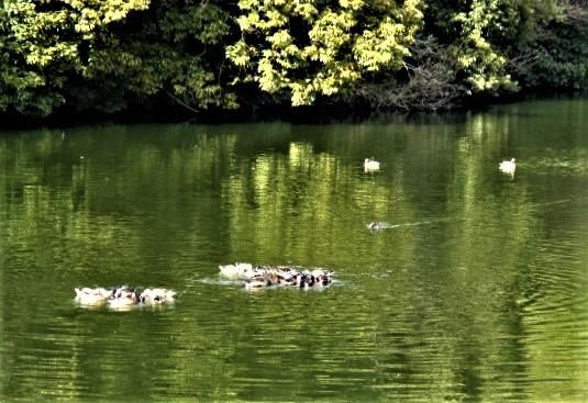 飛来!ハシビロガモ30羽~雪解けの池に水尾美しく
