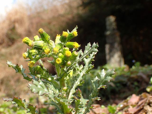 「高野の花たち」(110)春は綿毛にノボロギク