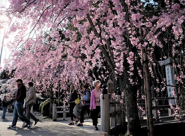 金剛峯寺「しだれ桜」満開♪山麓の2週間後の春本番