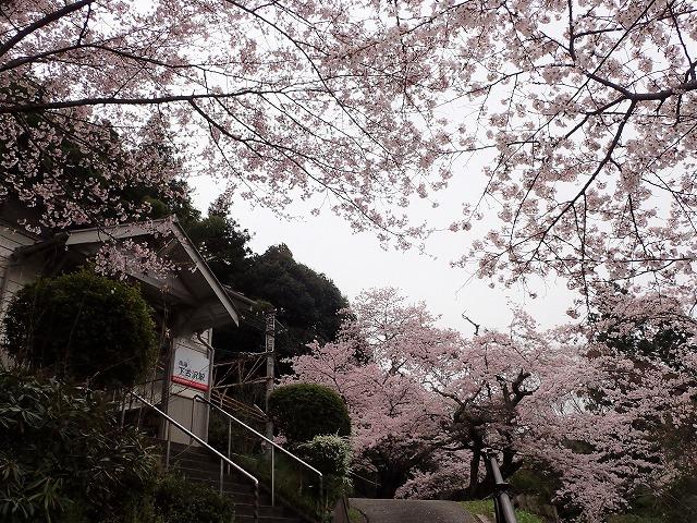 「高野の花たち」(116)優れた美人ソメイヨシノ
