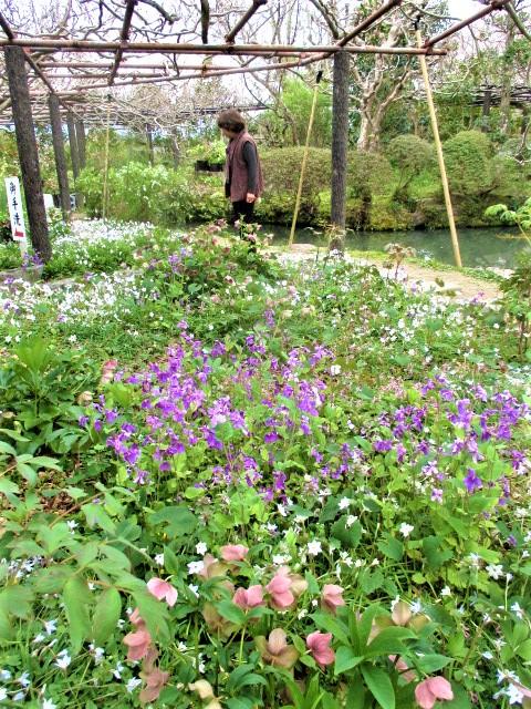 小宇宙…山野草の花々♪子安地蔵寺、もうすぐ九尺藤も