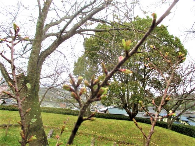 みどりのさくらまつり♪15日(土)城山台中央公園