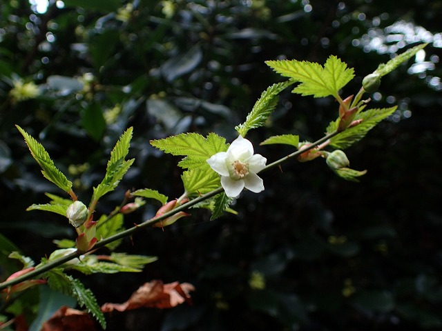 「高野の花たち」(117)5月に結実モミジイチゴ