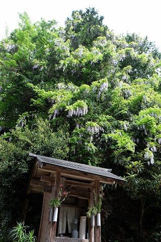 「高野の花たち」(123)花言葉「歓迎」のヤマフジ