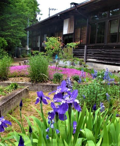 きれい♪菖蒲、芝桜…元・白藤小校庭で住民が栽培