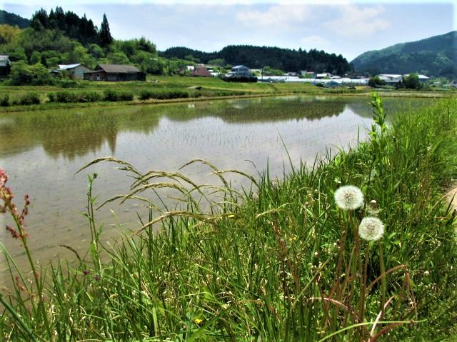 天野米の「水田」に心洗われ♪丹生都比売神社近く