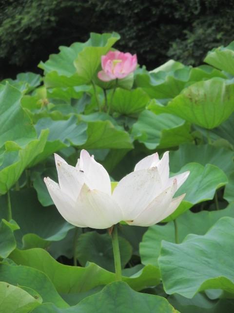 〝飛び越え石〟近くで大賀ハス開花♪万葉美人現れそう