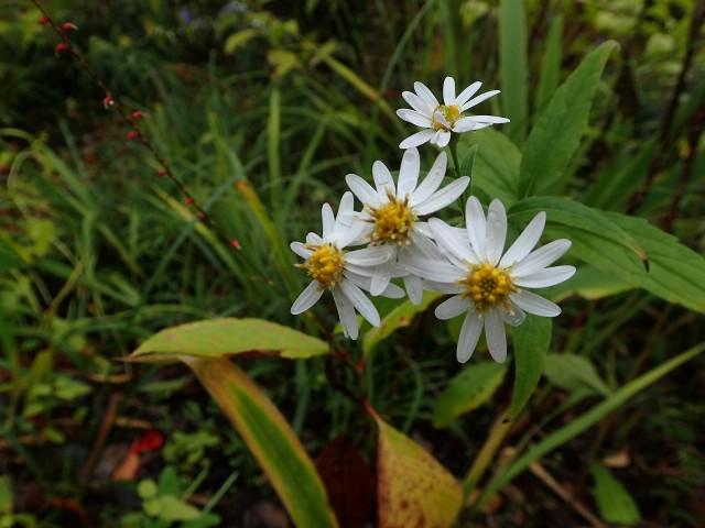 「高野の花たち」(141)失恋の痛みヤマシロギク
