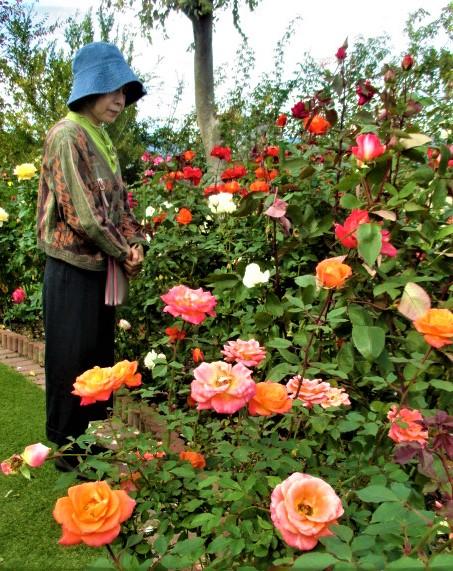 秋バラ250輪が魅了♪山浦さんの庭園いい香り