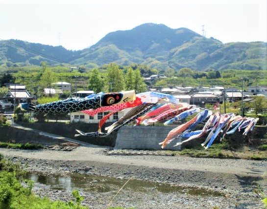 鯉幟100匹ひるがえる♪九度山の丹生川カラフル