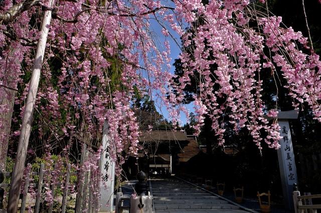高野山の桜、見頃迎える♪観光客ら日本の美満喫