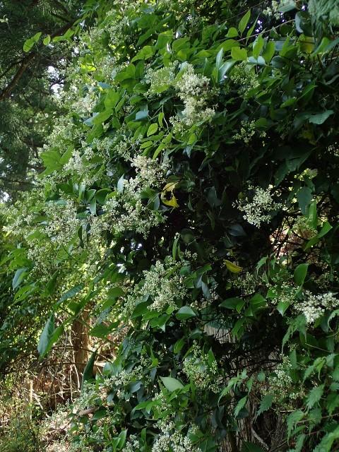 高野の花たち(165)ネズミモチ花言葉は名より実