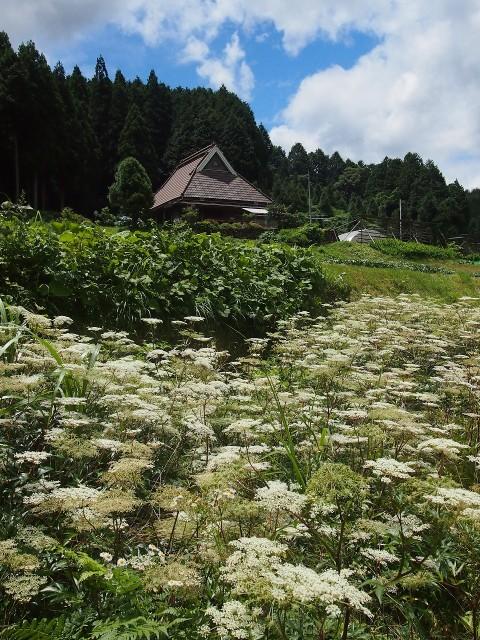 高野の花たち(164)トウキ、富貴で漢方薬栽培