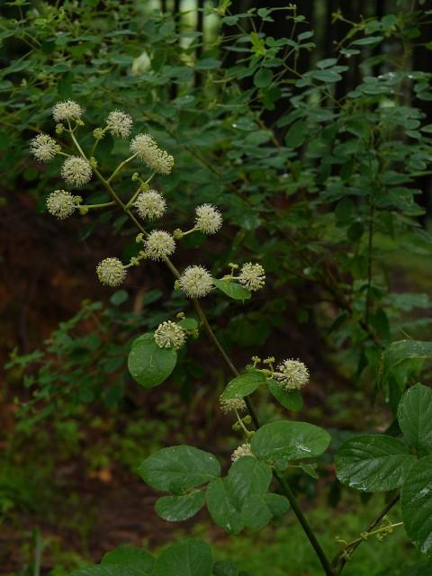 高野の花たち(174) ウド、生薬は天地の恵み