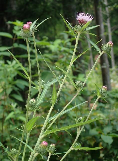 高野の花たち(171)花言葉「独立」ヨシノアザミ