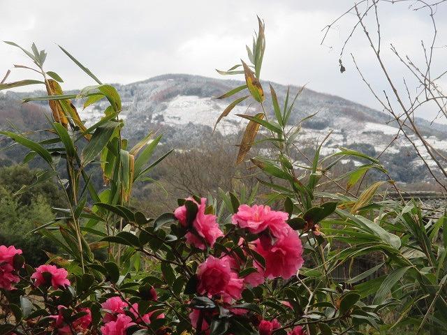 初雪きれいに♪山茶花やゴンちゃん~橋本伊都地方