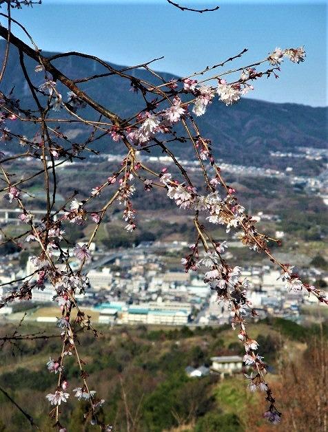 啓翁桜♪満開の仕事始め~国城山・木馬引きも逞しく