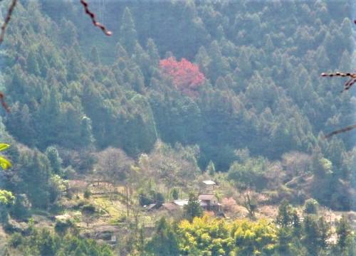 桂はピンクでハート型♪高野山麓・玉川峡に春本番
