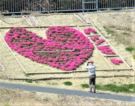 芝桜♡型アート輝く♪杉村公園の丸尾池で市民栽培