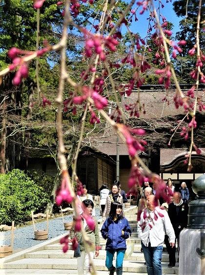 高野山の桜、蕾あからむ♪見頃4月下旬~八重紅枝垂