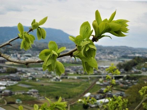 お尻山の柿若葉しっとり♪令和元年の開花が楽しみ