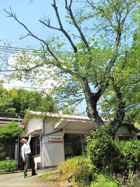 紀見峠駅の桜の枯枝伐採へ!矢倉橋上・車で運搬OK