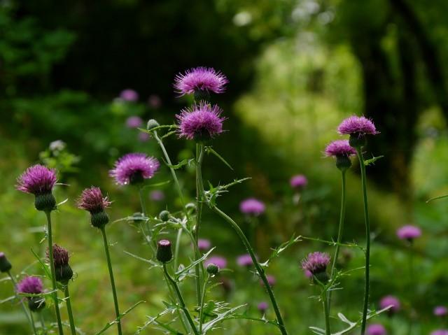 高野の花たち(202)ノアザミ~つい歌うことも