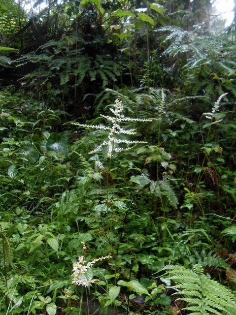高野の花たち(210)生薬で渡来トリアシショウマ