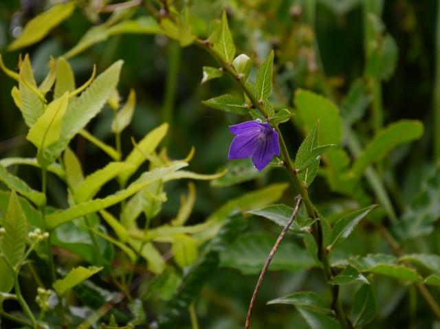 高野の花たち(223)キキョウ、花言葉は永遠の愛