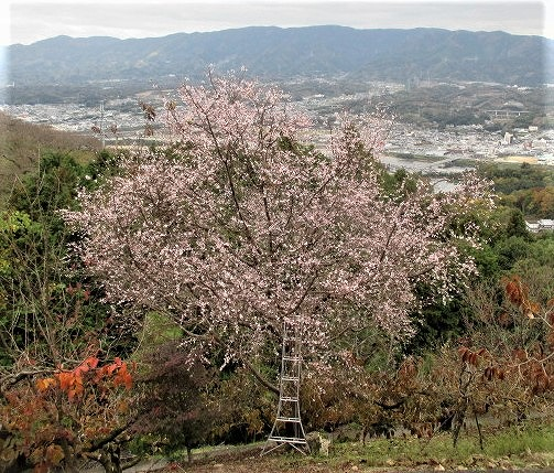 初冬、啓翁桜が満開♪国城山~「きれい」とハイカー