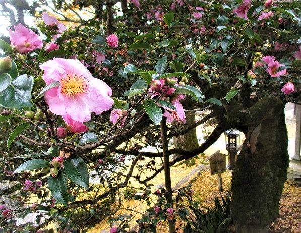 満開♡山茶花の老樹♪堀越癪観音~銀杏落葉も美しく